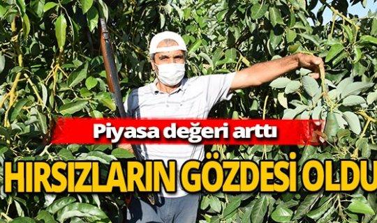 Antalya haber: Çiftçiden avokado nöbeti