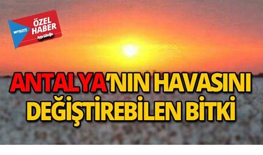 Antalya'nın havasını değiştirebilen bitki!