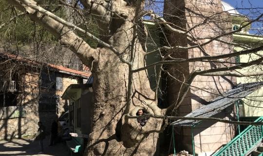 Bin yıllık Çınar ağacı yıllara meydan okuyor
