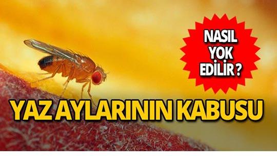 Meyve sineği nedir? Nasıl yok edilir?