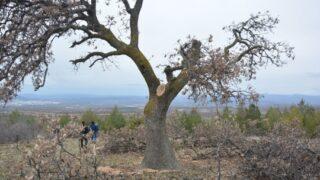 Ormandaki ağaçları kaçak kestiler