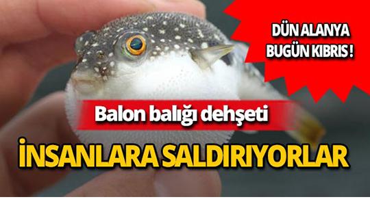 Sahillerde balon balığı tehlikesi!