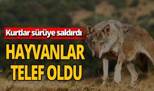 Sürüye kurtlar saldırdı hayvanlar telef oldu
