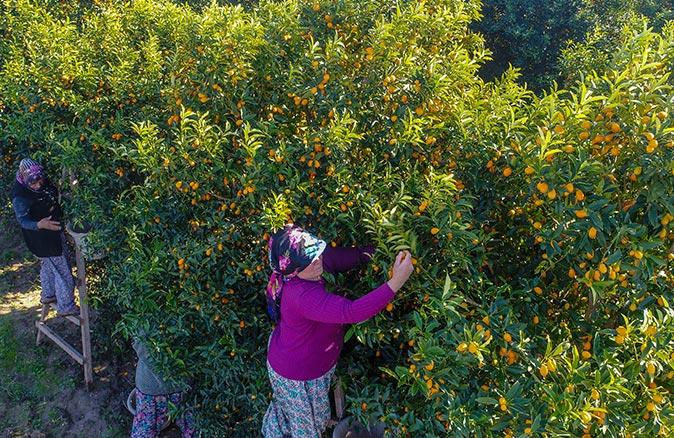 Antalya'da kamkat hasadı başladı