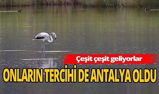 Antalya'da flamingolar görsel şölen oluşturdu