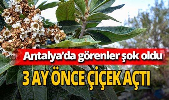 Antalya'da muşmula ağacı çiçek açtı