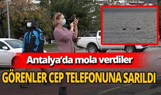 Antalya'da pelikanları görenler cep telefonuna sarıldı