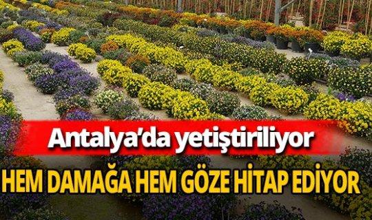Antalya'da yetiştirilen yenilebilir çiçeklere büyük ilgi