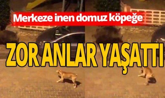 Antalya haber: Köpek merkeze inen domuzdan kaçtı