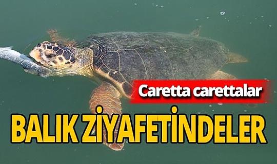 Caretta caretta'lar balık ziyafetinde