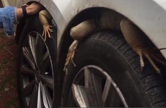 İlginç görüntü! Otomobilinin ön tekerine iguana girdi