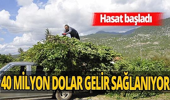 Manavgat'ta defne yaprağında büyük atak! 5 milyon lira gelir bekleniyor