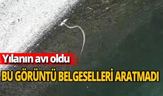 Yılanın balığı yakaladığı an kamerada
