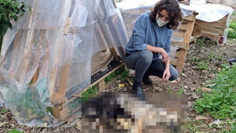 Antalya'da bir vahşet daha! Beslediği köpekler öldürüldü