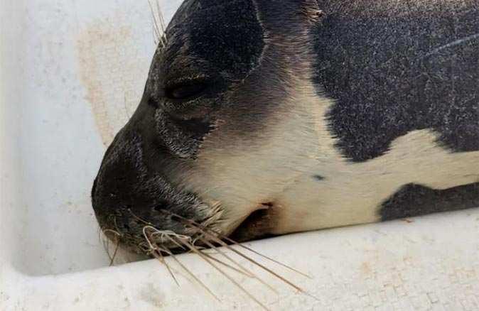 Nesli tükenmekte olan Akdeniz foku, denizde ölü bulundu!