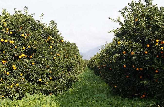 Koronavirüs portakal fiyatını uçurdu
