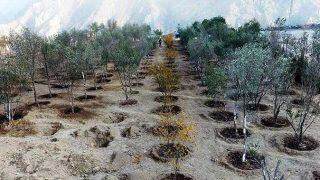 Artvin'de taşınan ağaç sayısında rekor rakam: 15 bin adet ağaç taşındı
