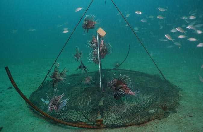 Aslan balığı bakın hangi ülkeden denize salınmış!