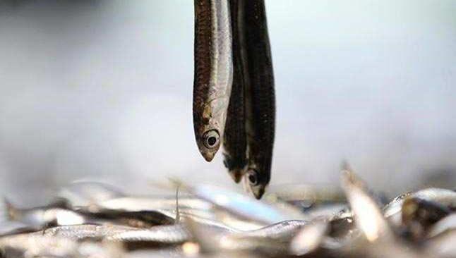 Yasaklı alan dışında! Balıkçılar İğneada'ya akın ediyor