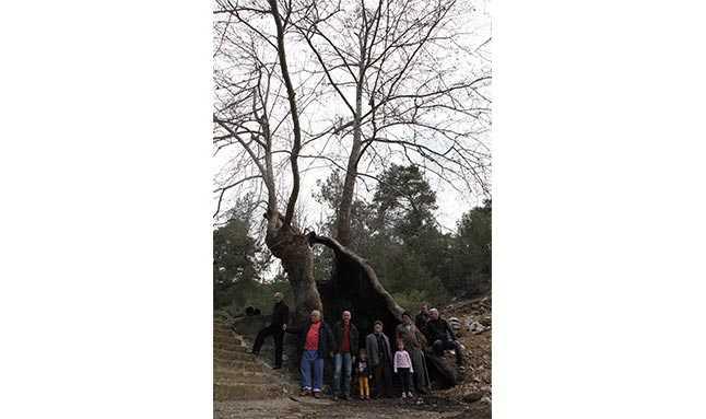 çınar ağacı antalya  22