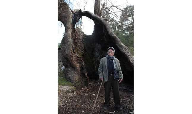 çınar ağacı antalya  33