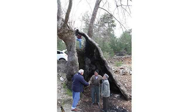 çınar ağacı antalya  44