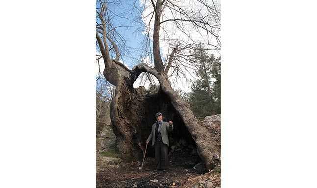 çınar ağacı antalya  55