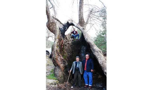 çınar ağacı antalya  11