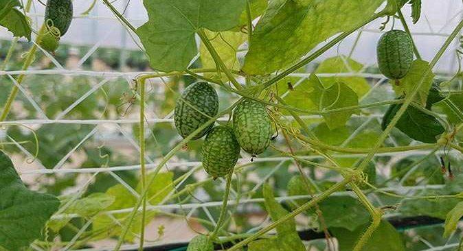 Her mevsim üretiliyor, tadı salatalığı andırıyor