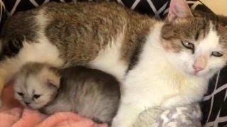Çinli bilim insanları, somatik hücre transferiyle kedi klonladı