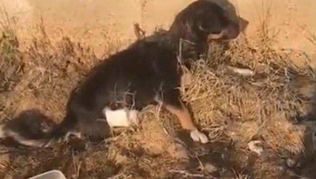 Edirne'de arka bacakları kesilmiş yavru köpek bulundu