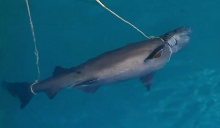 Konyaaltı'nda köpek balığı ölüsü bulundu