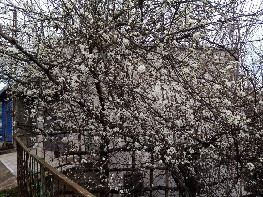 Erik ağaçları kış ortasında çiçek açtı