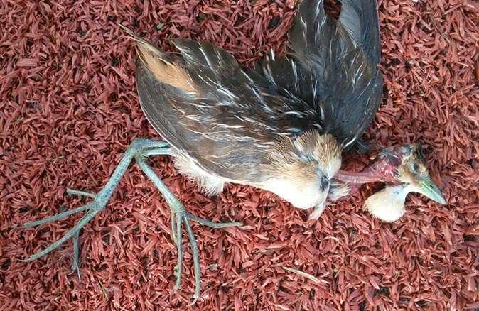 Ölü bulunan kuşun Çizgili Yelve olduğu belirlendi