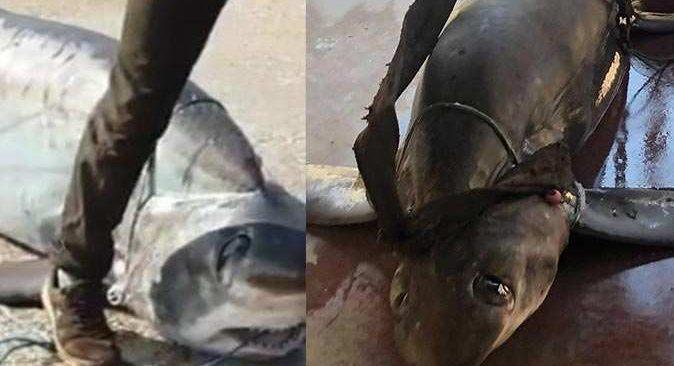 Antalya'da ağlara 6 metrelik sapan köpek balığı takıldı