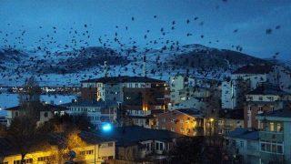Ardahan'da korkunç olay: Kargalar istila etti