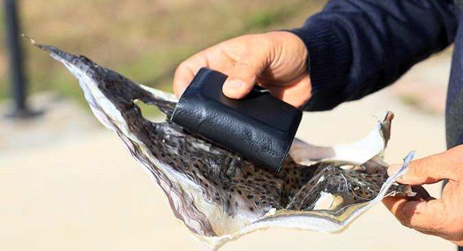 Prof. Dr. Mehmet Gökoğlu'ndan ilginç öneri: Balon balığının derisinden cüzdan yapılsın