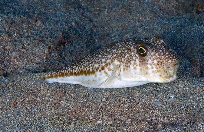 İstilacı türler filme konu oldu, en tehlikelisi balon balığı çıktı