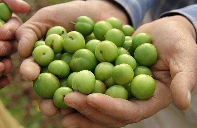 Sezonun ilk hasadı yapıldı, kilosu 500 liradan satıldı