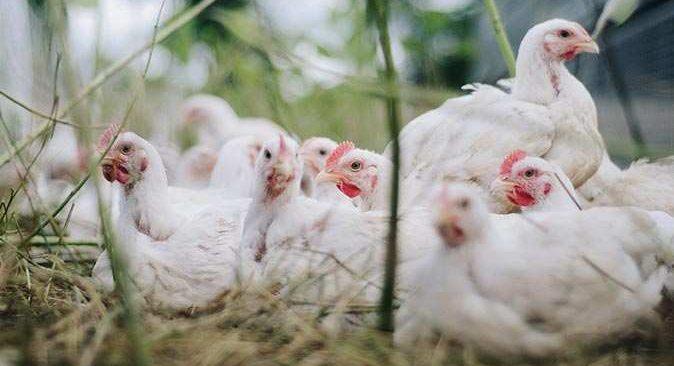 Japonya alarm verdi! Binlerce tavuk itlaf edilecek