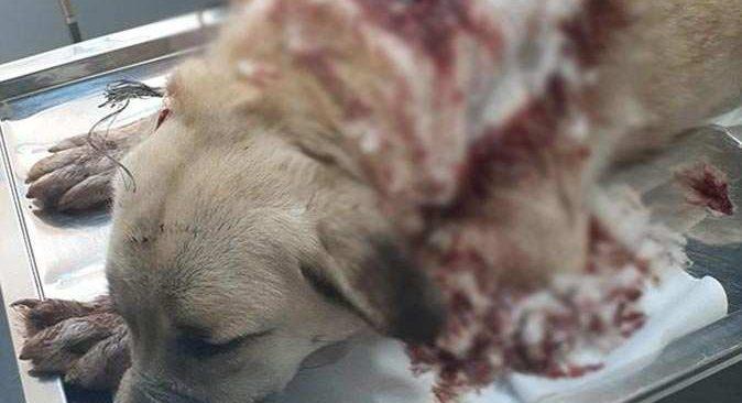 İsyan ettiren görüntü! Bekçi köpeğini boynundan vurdular
