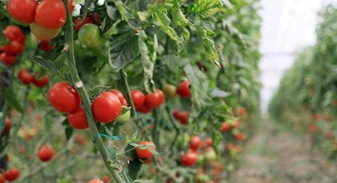 Kota artırıldı, domates sevkiyatı 10 gün içinde başlıyor