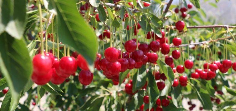 Vişne bahçesi kuranlara yüzde 75 hibe desteği