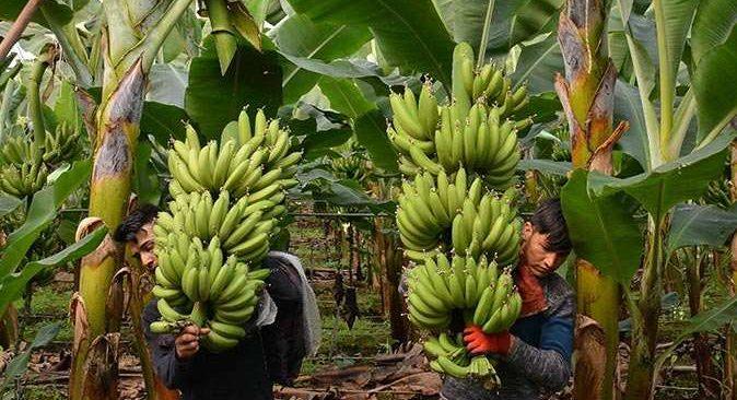 MATSO Başkanı Boztaş: 'Manavgat muzu aranan meyve oldu'