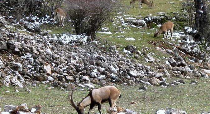 Otlamak için mahalleye inen Akseki'nin yaban keçileri görenleri hayran bıraktı