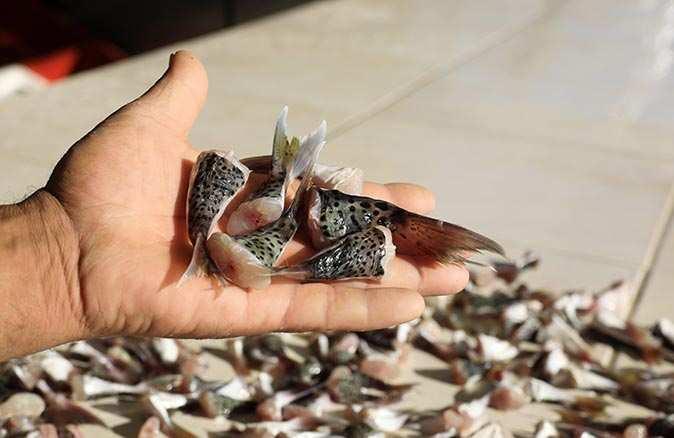 Balon balığı kuyrukları, 2021'de de alınacak