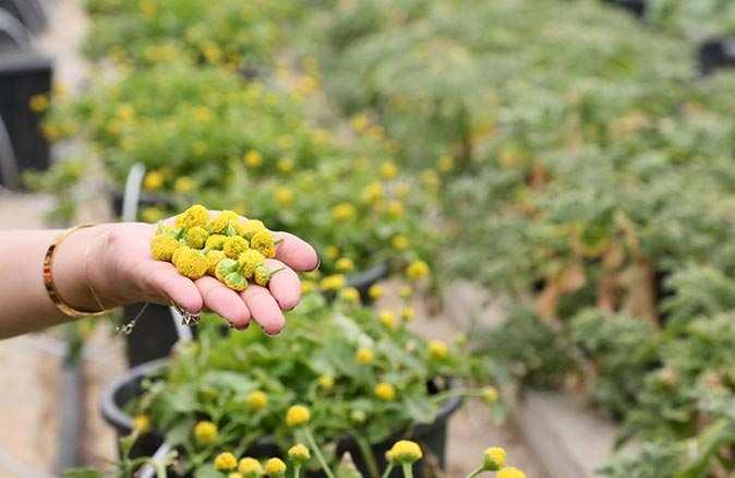 Antalya'da üretilen elektrik çiçeği yoğun ilgi görüyor