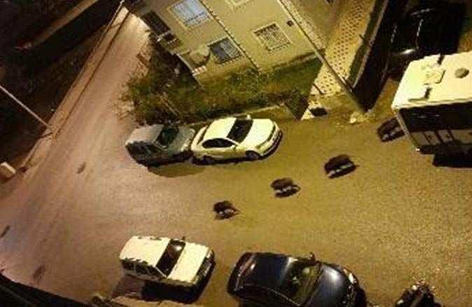 İzmir'de domuzlar mahalleye indi!