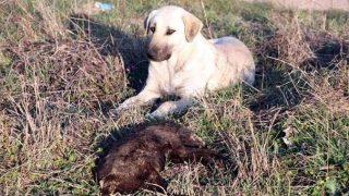 Edirne'deki yakılarak öldürülen yavru köpeklerle ilgili soruşturma