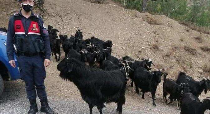 Keçilerini kaybeden Fatma Gökmen'in yardımına jandarma koştu